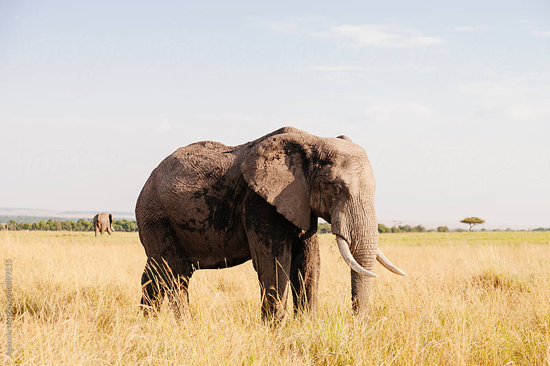 African Elephant by Agencia for Stocksy United