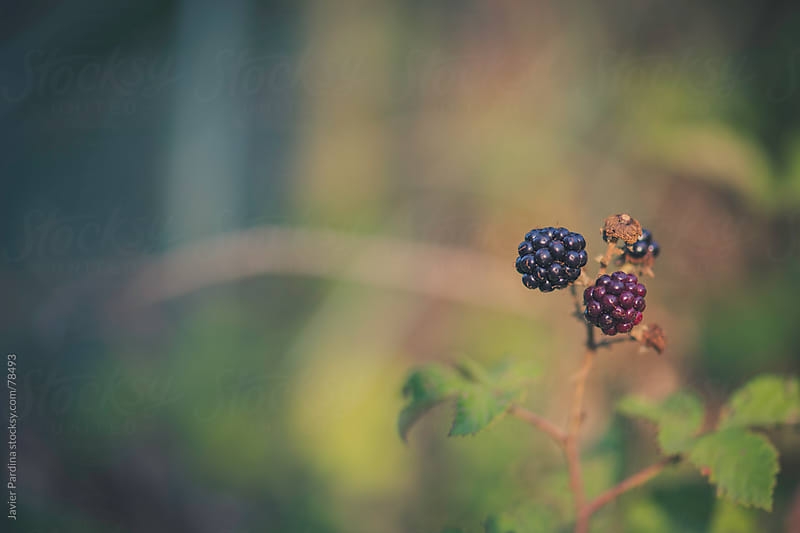 wild blackberries in the forest by Javier Pardina for Stocksy United