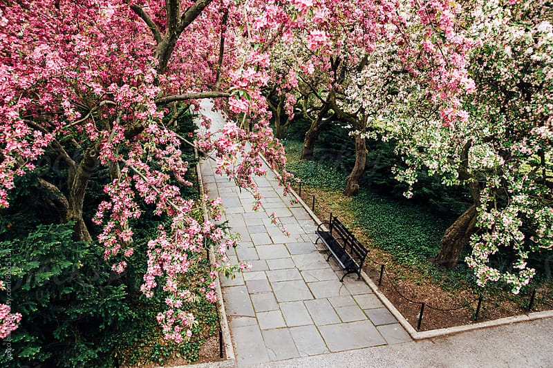 Walkway under crabapple blossoms in spring by yuko hirao for Stocksy United