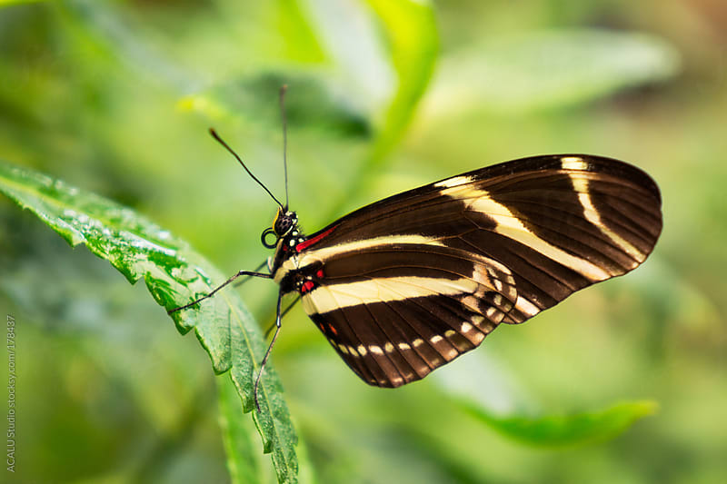 Butterfly with black and white stripes by ACALU Studio for Stocksy United
