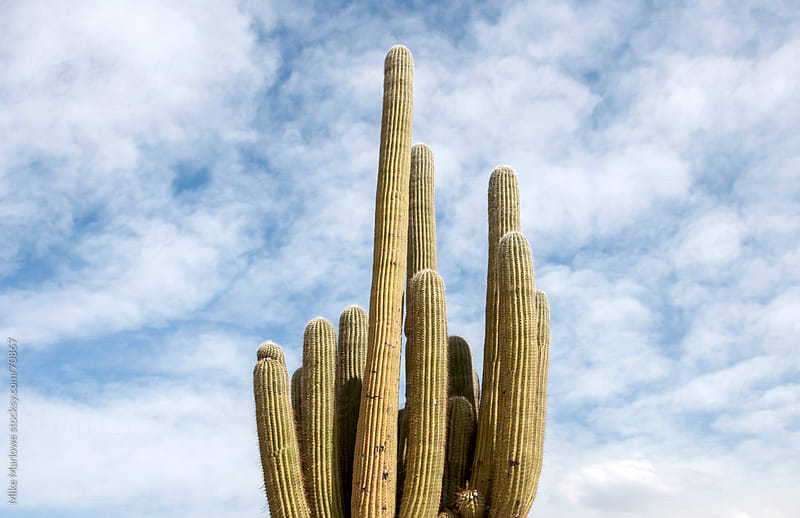 Close up shot of a cactus. by Mike Marlowe for Stocksy United