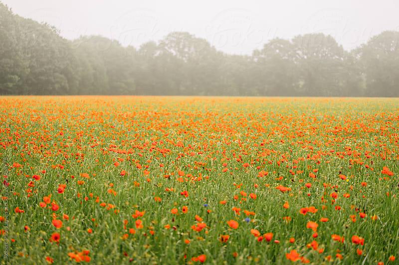 Misty Poppy field by Robert-Paul Jansen for Stocksy United