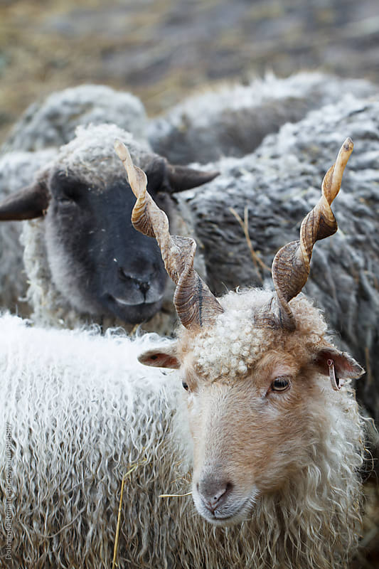 Hungarian Racka Sheep and Lamb by Dobránska Renáta for Stocksy United