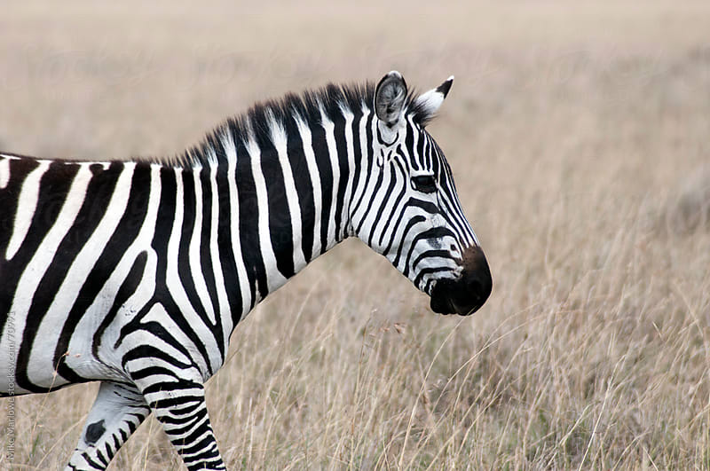 Profile shot of a zebra. by Mike Marlowe for Stocksy United