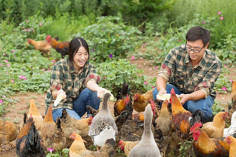 Young couple farmer feeding chicken at poultry farm by MaaHoo Studio for Stocksy United