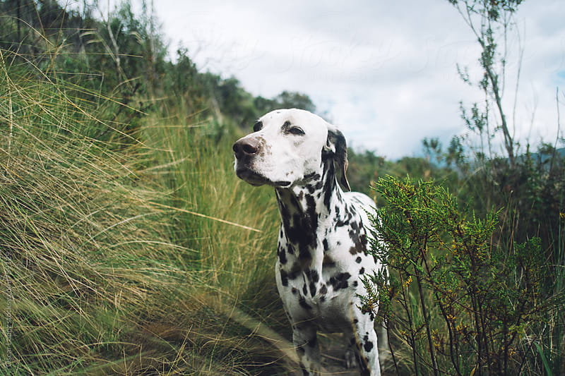 Dog in a field gazing into the distance by Oscar Lopez for Stocksy United