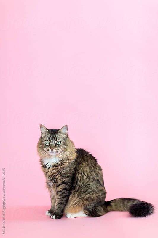 Cat in front of colorful wall by Daniel Kim Photography for Stocksy United