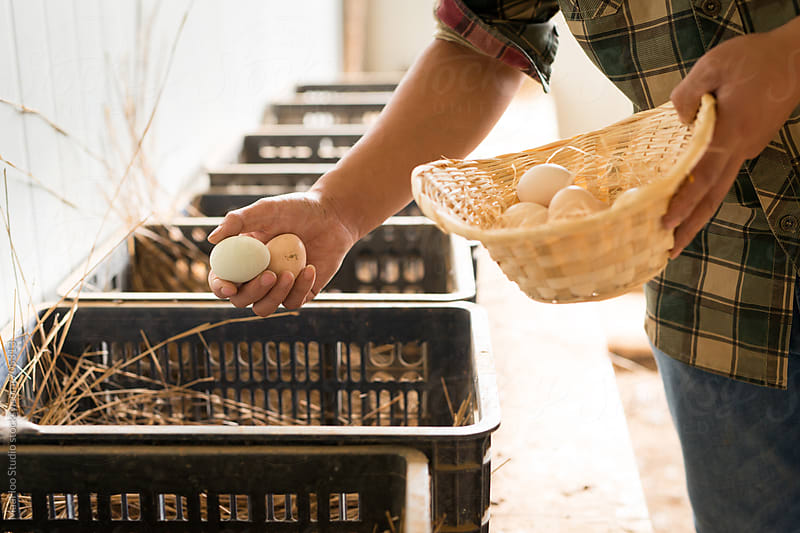 Young farmer collecting fresh hen eggs by Maa Hoo for Stocksy United