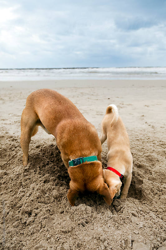 Two Dogs Digging in Beach Sand at Winter by Eldad Carin for Stocksy United