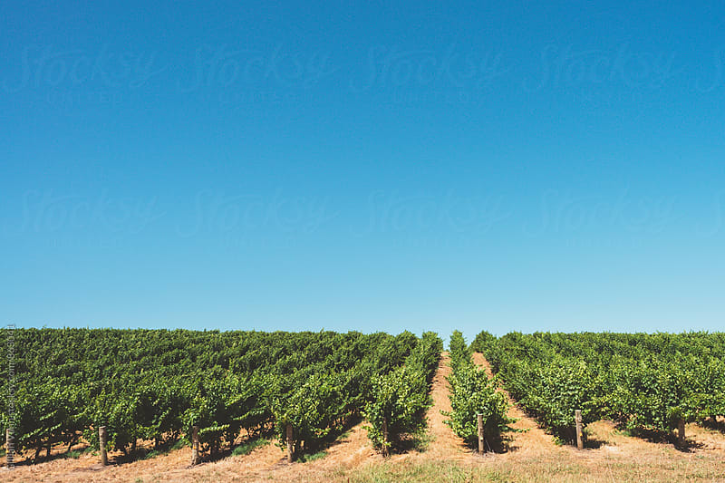 vineyard in summer, with blue sky by Gillian Vann for Stocksy United