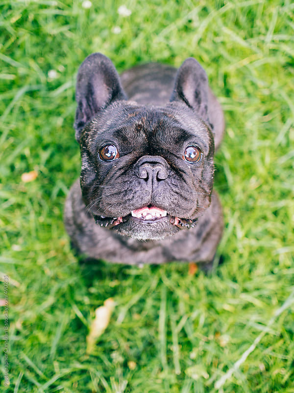 French bulldog on grass by Photographer Christian B for Stocksy United