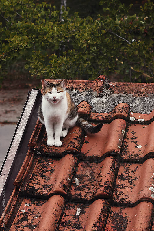 Cat is smiling on the roof by Jovana Rikalo for Stocksy United