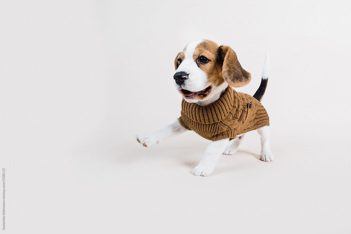 beagle puppy running in winter outfit stocksy united