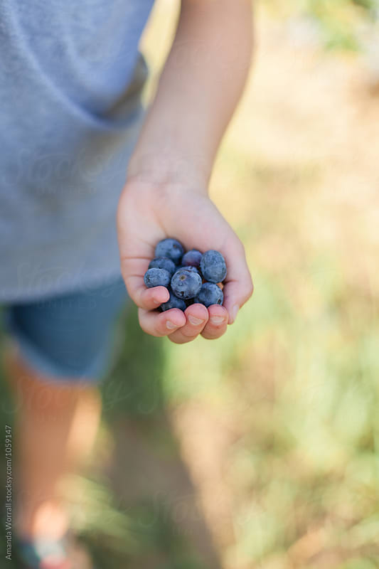 Anonymous girl's hand holding out fresh-picked ripe blueberries by Amanda Worrall for Stocksy United