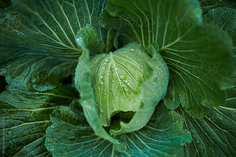 close up of one cabbage by Bo Bo for Stocksy United