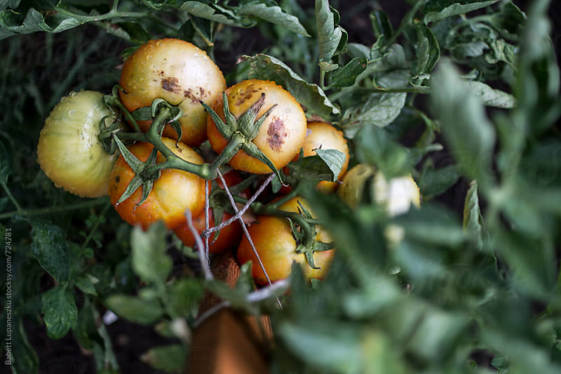 Home-grown organic tomatoes by Babett Lupaneszku for Stocksy United
