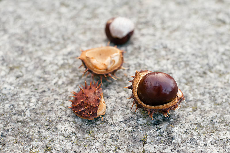Conkers Lying on a Wall by Claudia Lommel for Stocksy United