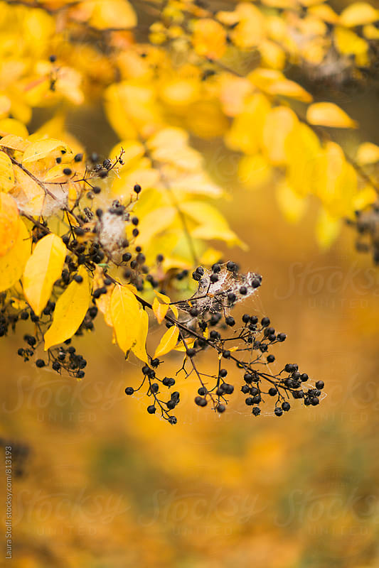 Spider web on branch loaded with yellow leaves and dry berries by Laura Stolfi for Stocksy United