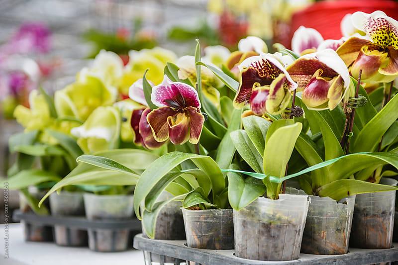Slipper Orchids in bulk for sale by Lawren Lu for Stocksy United