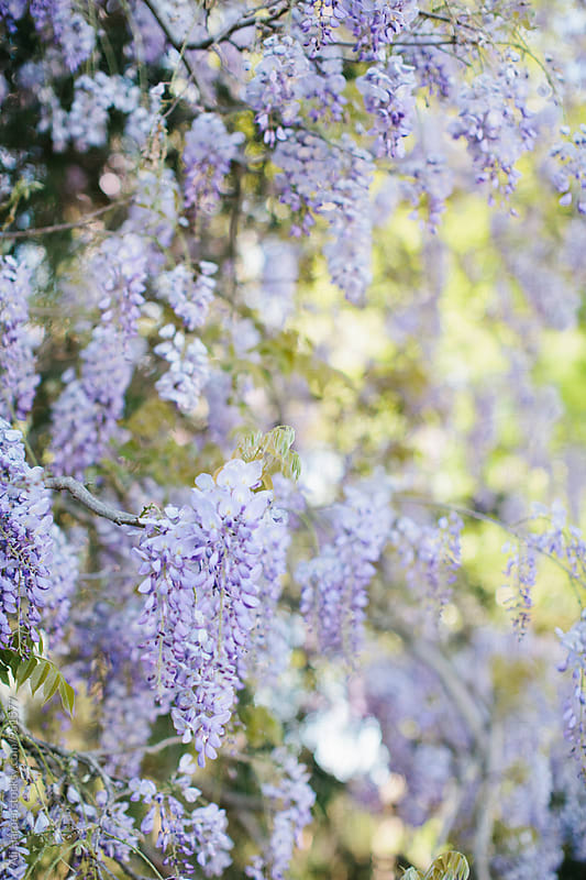 Wisteria by Ali Harper for Stocksy United
