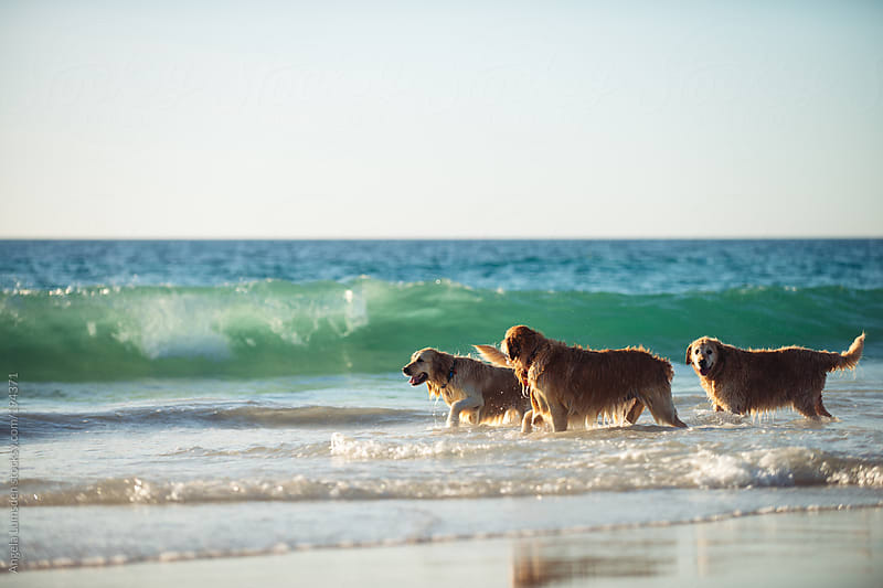Three golden retrievers walking in water at the beach by Angela Lumsden for Stocksy United