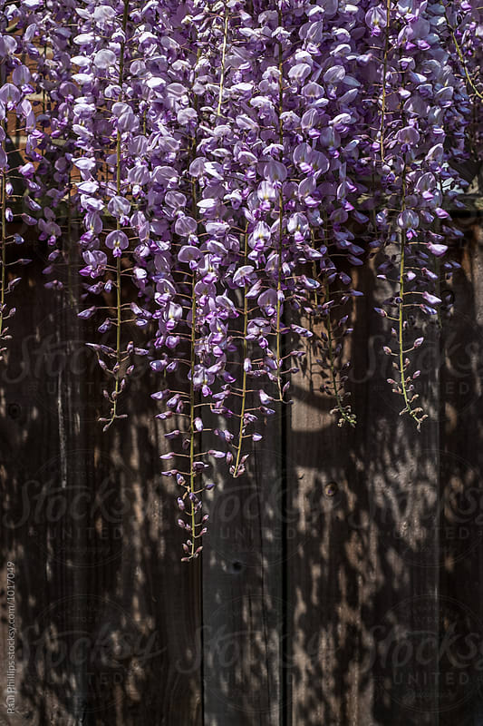 Wisteria hanging down a dark fence. by Paul Phillips for Stocksy United