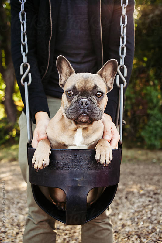 A brown french bulldog puppy swinging in a baby swing at the park playground. by J Danielle Wehunt for Stocksy United