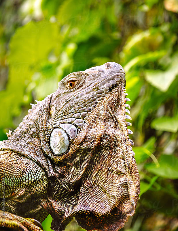 Iguana in the vegetation by ACALU Studio for Stocksy United