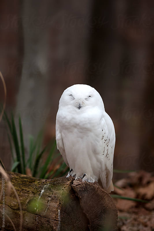 Snowy Owl Perched on a Log by Brandon Alms for Stocksy United