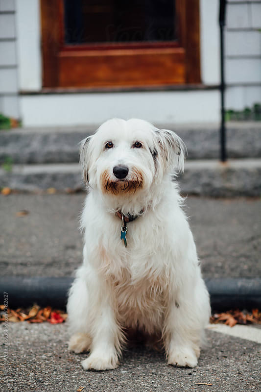 A portrait of a white wheaton terrier looking at the camera. by J Danielle Wehunt for Stocksy United