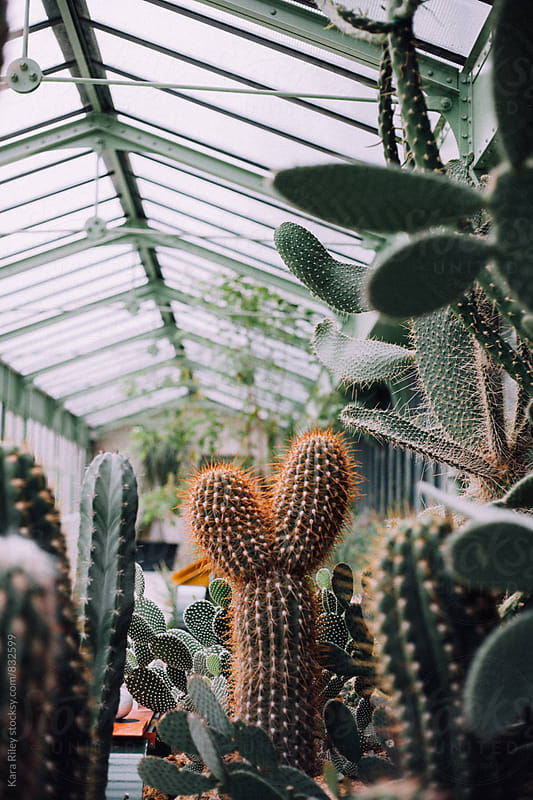 Cacti in a Greenhouse by Kara Riley for Stocksy United