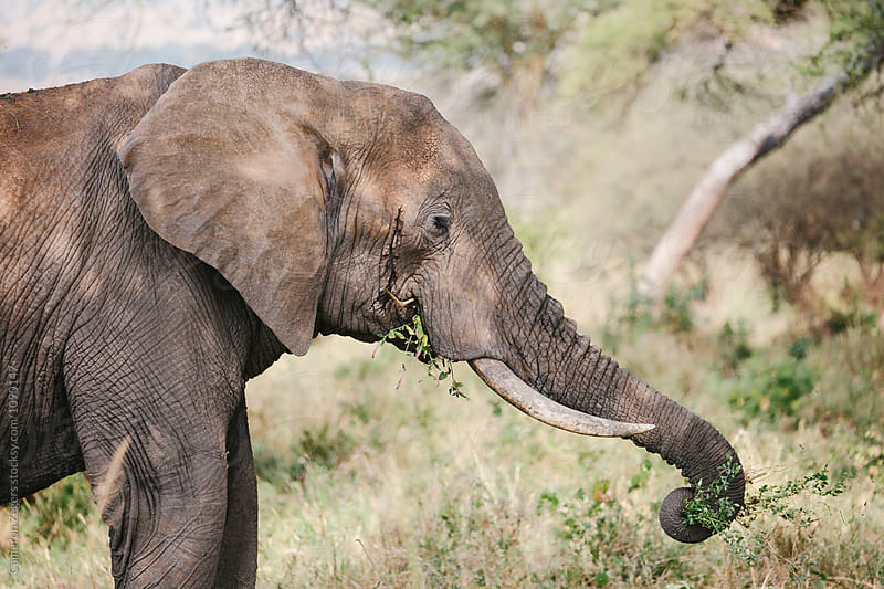 elephant eating by Cameron Zegers for Stocksy United