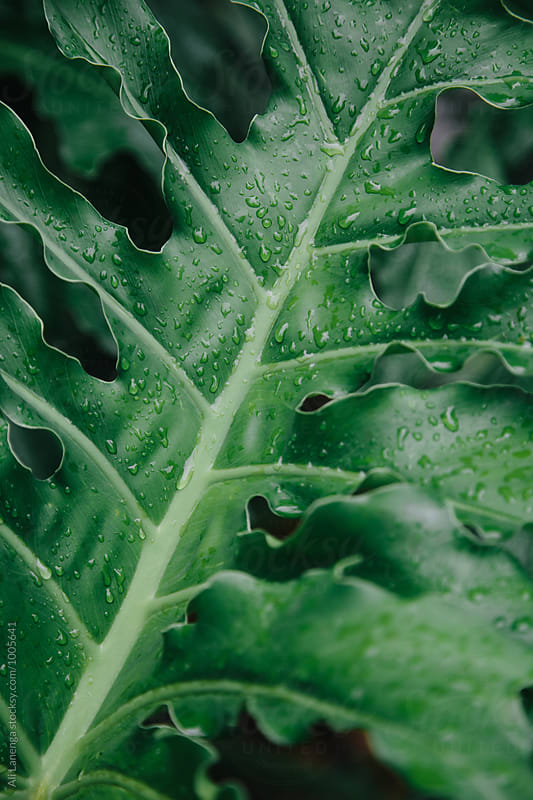 Moster Leaf Detail by Ali Lanenga for Stocksy United