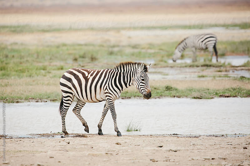 zebra walking near water hole in Tanzania by Cameron Zegers for Stocksy United