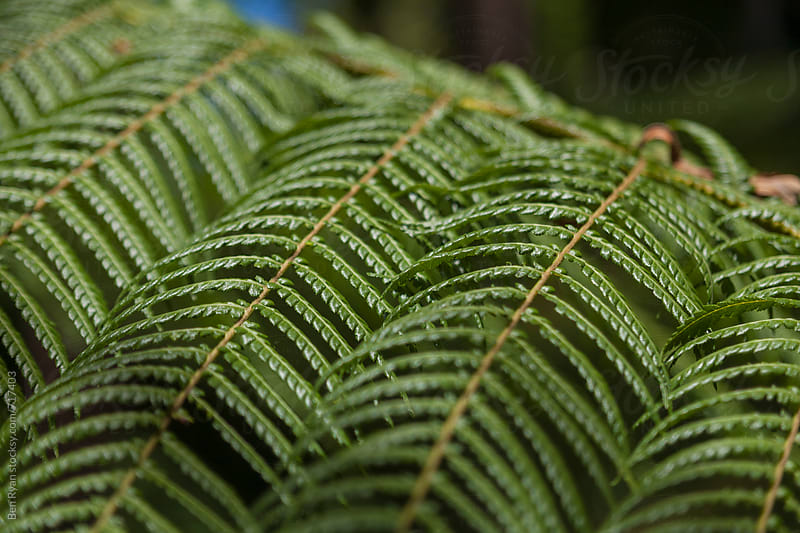 Detail of fern fronds in Australia forest by Ben Ryan for Stocksy United