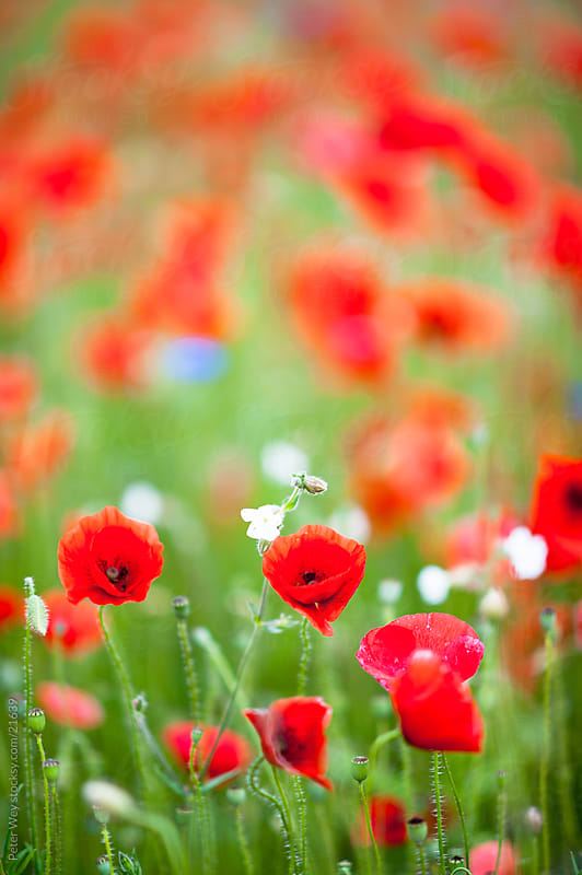 Nature in spring: Blossoming field of Papaver by Peter Wey for Stocksy United