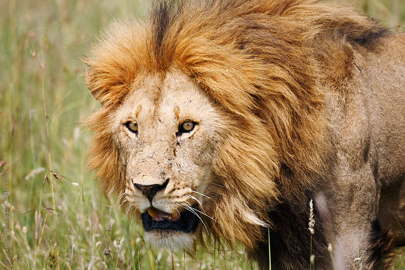 Male Lion  in Africa's Serengeti National Park. by Paul Tessier for Stocksy United