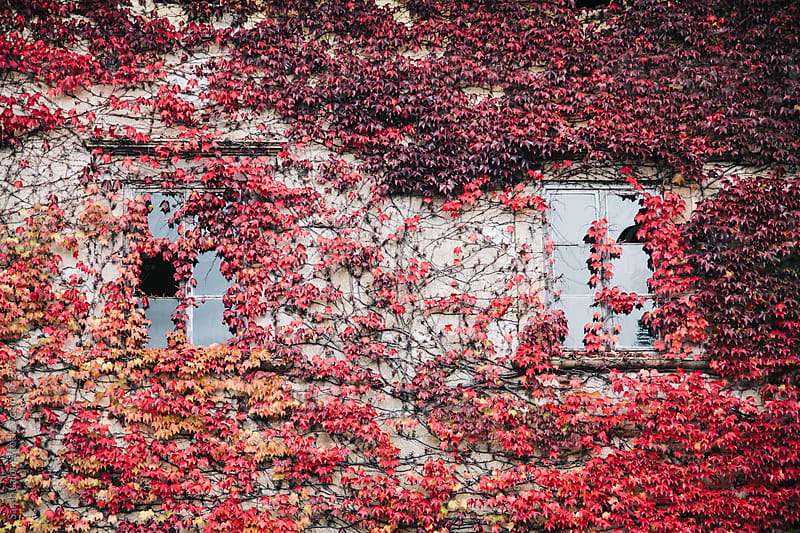 Red leaf vine on an old stone building with windows in Tuscany in the fall. by Sarah Lalone for Stocksy United