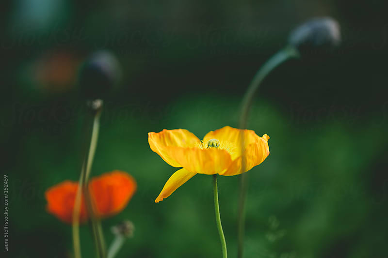 Yellow and red poppies with out of focus poppy seeds in front of them by Laura Stolfi for Stocksy United