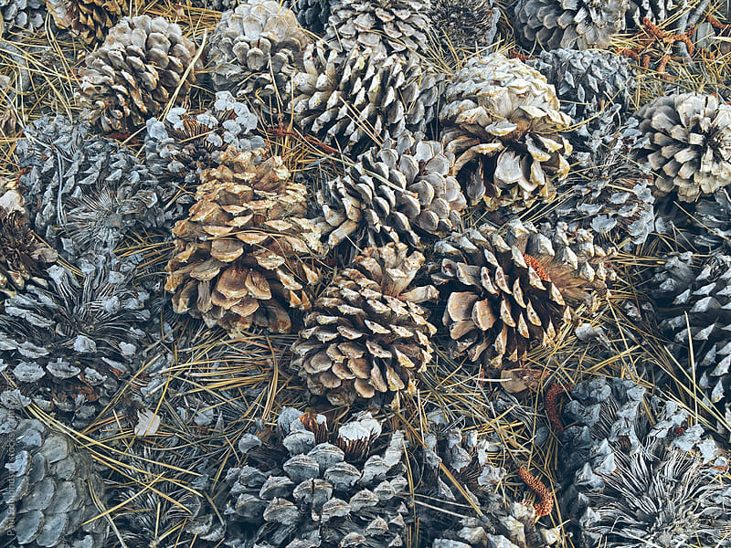 Ponderosa pine cones  by Paul Edmondson for Stocksy United