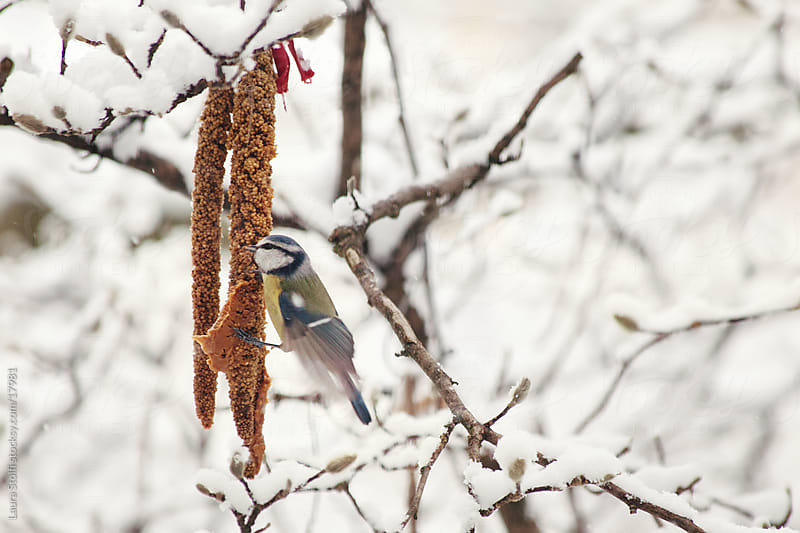 Blue tit eating seed on snowy branch by Laura Stolfi for Stocksy United