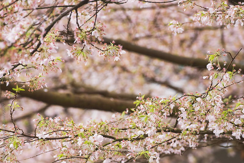 Spring Cherry Blossoms With Copyspace by Ronnie Comeau for Stocksy United