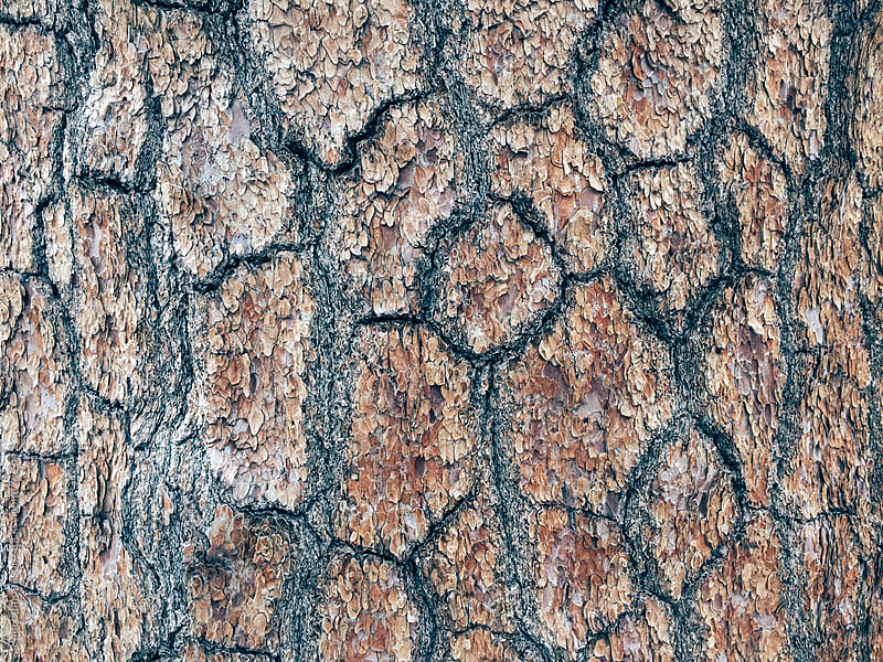 Close up of bark from old growth White pine tree by Paul Edmondson for Stocksy United
