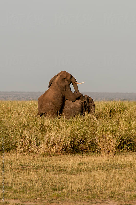 Elephants having sex. Kenya by Marta Muñoz-Calero Calderon for Stocksy United