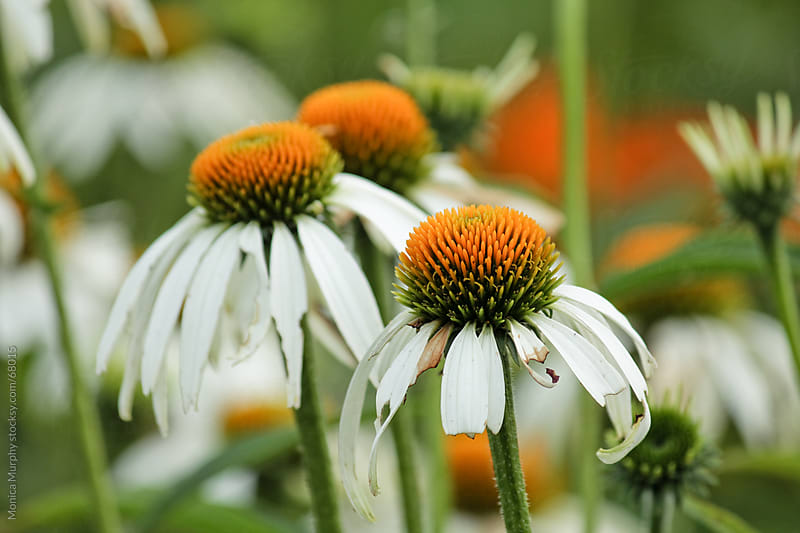 Field of white cone flowers by Monica Murphy for Stocksy United