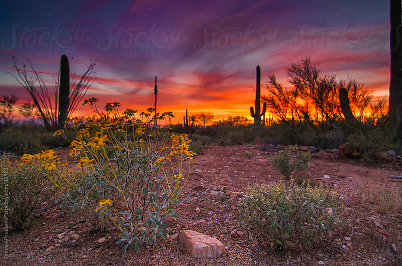 Colorful Desert Sunset With Yellow Wildflowers by Tamara Pruessner for Stocksy United