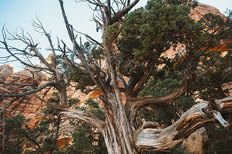 Juniper Tree in the Grand Canyon by michelle edmonds for Stocksy United
