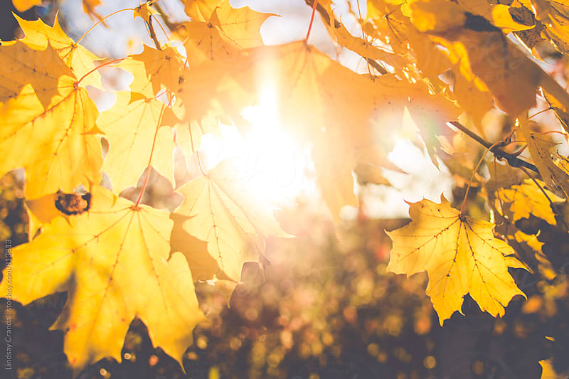 Yellow leaves in autumn light by Lindsay Crandall for Stocksy United