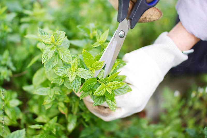 Gardener harvesting peppermint. by Harald Walker for Stocksy United