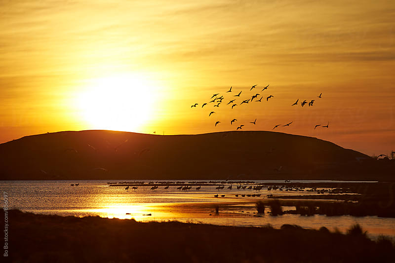 flock of bird flying in the sunrise by Bo Bo for Stocksy United